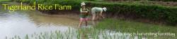 Rice Farming Homestay at Tigerland Rice Farm, Chiang Rai, Thailand – an experiential eco-v ...