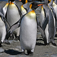 Antarctic penguins, species, facts and adaptations