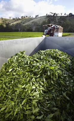 Harvesting & Growing Green Tea