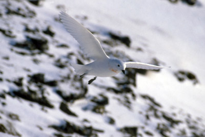 Snow Petrel – Pagadroma nivea – Courting Couple in Flight