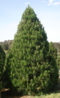 Best Prices for Perfectly Shaped Real Christmas Trees in Sydney
