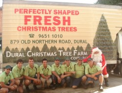 Perfectly shaped real Christmas trees grown in Sydney fresh cut Christmas trees delivered in Sydney