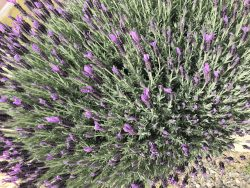 Lavender 🌞