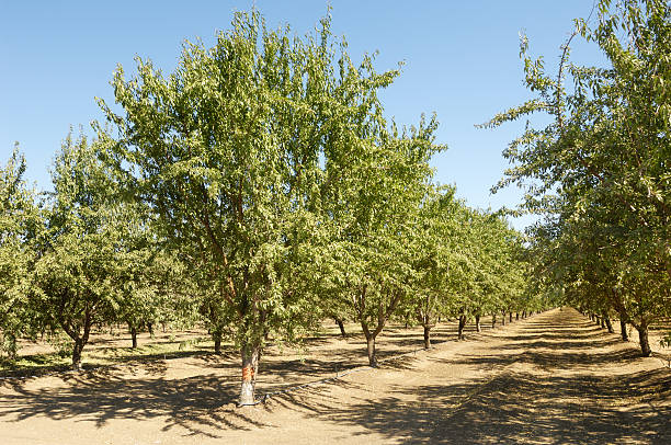 Royalty Free Almond Tree Pictures, Images and Stock Photos – iStock
