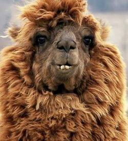 Hairy Lama