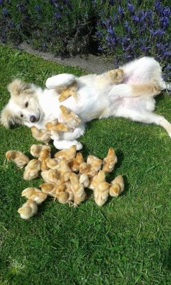 chicks finding a way to climb on the dog