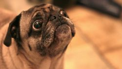 pug starting to cry