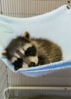 baby raccoon taking a nap