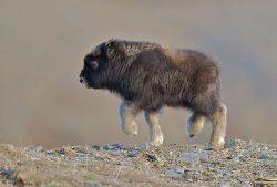 baby musk ox dancing