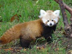 crazy red panda cub