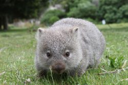 cute fat baby wombat