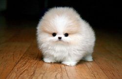 cute teacup pomeranian puppy