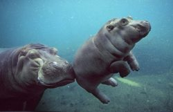 cute baby hippo swimming