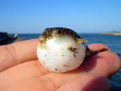 fat baby puffer fish