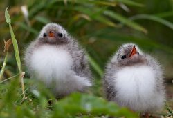 baby arctic tern chicks