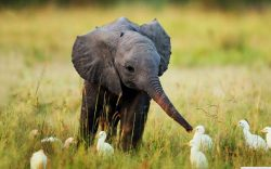 Baby Elephant wondering