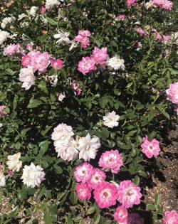 Roses 🌷🌷🌷