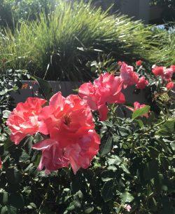 Roses 🌹🌹🌹